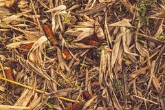 残余玉米棒子在打谷以后 库存照片