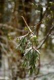 残破的树branck在雪报道的早期的春天 免版税图库摄影