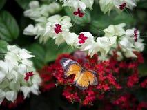 残破的翼橙色蝴蝶平原老虎丹尼亚斯chrysippus chrysippus的关闭在红色花有绿色庭院背景 免版税图库摄影