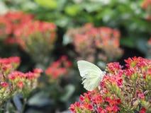 残破的翼白色蝴蝶粉蝶皮利斯rapae的关闭在红色花有绿色庭院背景 免版税库存图片