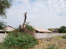 残破的豆科灌木树干 免版税库存照片