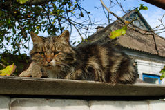 残酷无家可归的猫 库存图片