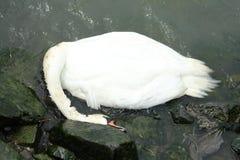 残破收缩的天鹅 免版税库存照片