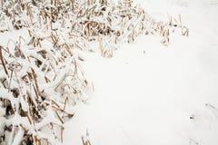 残破的多雪的冬天象草植物 图库摄影