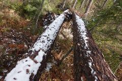 残破的多雪的树 库存照片