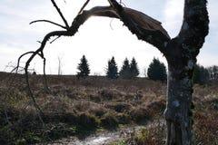 残破的弯曲的树在俄勒冈 免版税库存照片