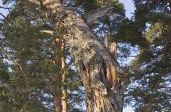 残破的树干 库存图片
