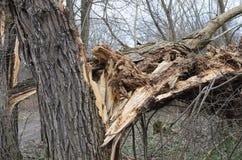 残破的树 库存照片