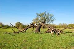 残破的闪电结构树 库存照片