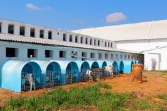 养殖在牛棚的小牛 库存照片