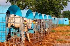 养殖在牛棚的小牛 免版税图库摄影