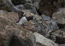 离去殖民地在Fuglesongen的小的海雀, NW卑尔根群岛 库存图片