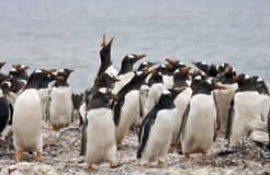 殖民地福克兰gentoo海岛企鹅 免版税库存照片