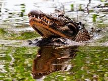 养殖的2条鳄鱼在水,佛罗里达中 库存照片