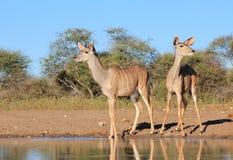 殷勤Kudu的羚羊-从非洲的野生生物-机敏和 免版税库存照片
