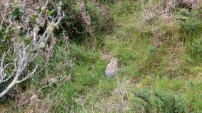 毁坏新西兰乡下的野生兔子 库存图片
