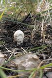 毁坏的天使新出生蘑菇的` s,致命的危险白色琼脂 库存照片