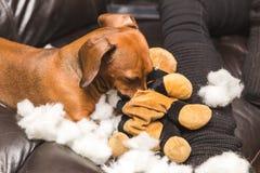 毁坏被充塞的玩具的达克斯猎犬 免版税库存照片