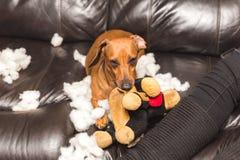 毁坏被充塞的玩具的达克斯猎犬 免版税库存图片