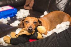 毁坏被充塞的玩具的逗人喜爱的达克斯猎犬 免版税库存图片