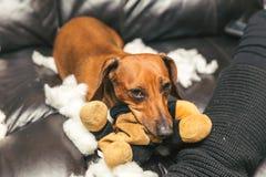 毁坏被充塞的玩具的逗人喜爱的达克斯猎犬 库存照片