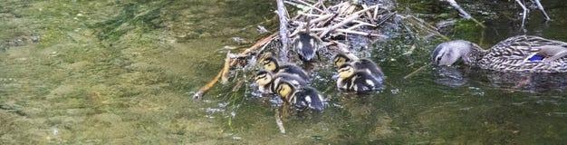 母亲与她的婴孩的鸭子钓鱼 库存照片