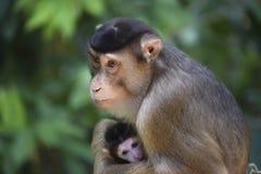 母亲与逗人喜爱的婴孩的短尾猿猴子 免版税库存照片