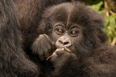 母亲举行的小大猩猩嚼分支 免版税库存照片