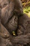 母亲举行的小大猩猩看起来害羞 图库摄影
