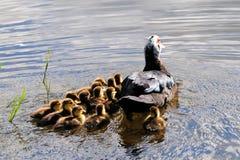 母亲俄国鸭子&鸭子 免版税库存图片