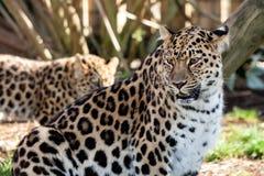母亲保护Cub的阿穆尔河豹子 免版税库存图片