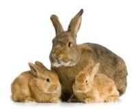 母亲兔子 库存照片