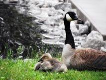 母亲加拿大人鹅 免版税库存图片