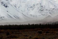 母亲北美灰熊和她的两个年轻人Cub在河谷 免版税图库摄影