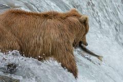 母亲北美灰熊捉住一条三文鱼-溪秋天-阿拉斯加 免版税图库摄影