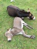 驴母亲和儿子睡觉 库存图片