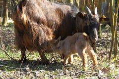 母亲和女儿山羊 免版税图库摄影
