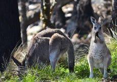 母亲和好奇小袋鼠, Tenterfield,新南威尔斯,澳大利亚 免版税库存图片