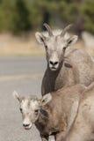 母亲和小大角野绵羊 免版税库存图片