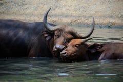 母亲和小孩野生非洲水牛的可爱的面孔在wate的 库存图片