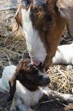 母亲和小山羊 免版税库存图片