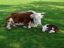母亲和小牛在玛丽阿尔登的议院&农场 库存图片