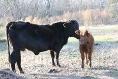母亲和小牛母牛在牧场地 免版税库存照片
