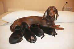 母亲和小狗养殖达克斯猎犬 库存照片