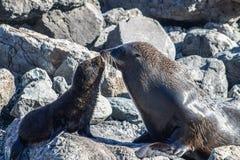 母亲和小狗新西兰海狗 库存照片