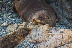 母亲和小狗新西兰海狗 库存图片