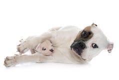 母亲和小狗美国人牛头犬 免版税库存照片