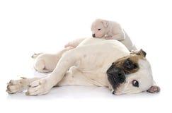 母亲和小狗美国人牛头犬 库存图片