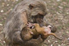 母亲和小的短尾猿短尾猿 免版税库存图片
