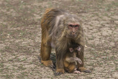 母亲和小的短尾猿短尾猿 免版税库存照片
